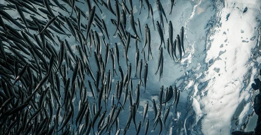 ¿Cómo y dónde viven las sardinas? | Descubre sus curiosidades